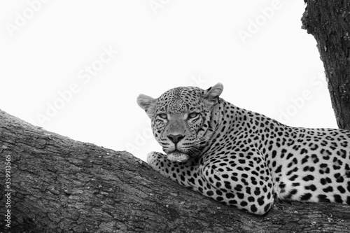 Leopard in a tree in monchrome Wallpaper Mural