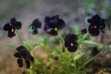 Black Velvet Violets