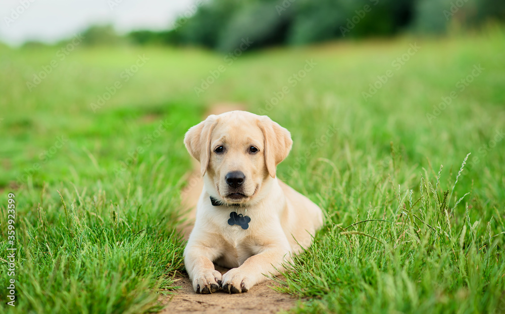 Labrador puppy posing for the camera in the green park