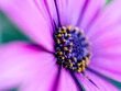 canvas print picture - close up of purple daisy