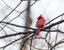 Male Cardinal In New York City