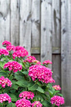 Hydrangeas Bushes In Full Bloom In The Garden. Pink, Lilac, Purple Bushes Blooming In City Park In Summer.