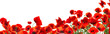 Beautiful red poppy flowers on white background. Banner design