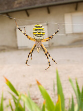 Wasp Spider Or Tiger Spider, A...