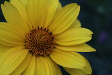 The Flower Is Large Yellow Bright Close Up On A Dark Background With An Insect Fly On The Petal