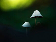Close-up Of White Mycena Mushrooms Growing In Forest