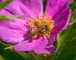 Leinwandbild Motiv Bee on a pink wildflower