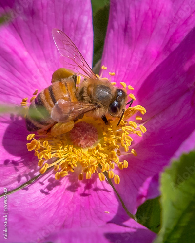 Bee on a pink wildflower