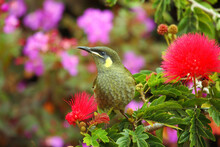 A Lewin's Honeyeater Perched Among Red Puffball Flowers.