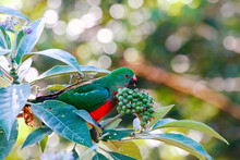 Australian King-Parrot Eating Eating Wild Tobacco Berries