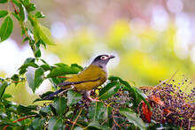 A Male Australasian Figbird Pe...