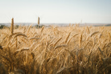 Ripe Wheat Crop In Head Ready ...