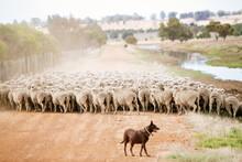 Kelpie Musters Sheep To The Ya...