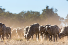 Mob Of Merino Sheep With Dry G...