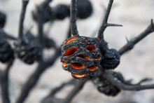 Banksia After A Fire With Seed...