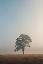 Single Large Gum Tree In Morni...