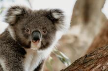 Close Up To Koala Joey In A Tree.