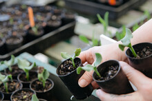 Hands Holding Green Seedlings ...