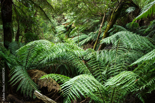 tree ferns on forest floor - 360000724