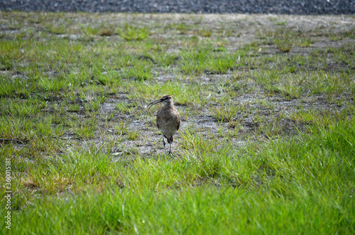 eurasian curlew bird watching her younglings from a distance Fototapeta