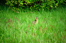 Small Eurasian Curlew Chicken ...