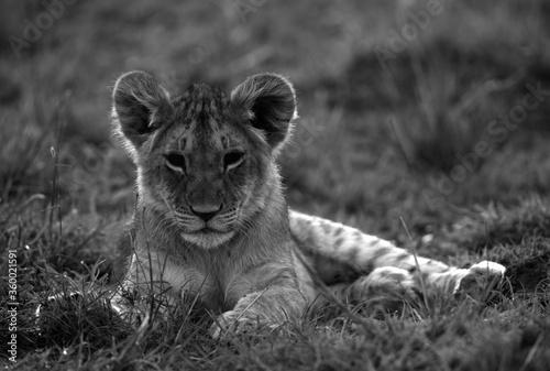 Fotografia A portrait of a Lion cub at Masai Mara grassland, Kenya