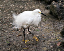 Snowy Egret Stock Photo. Picture. Image. Portrait. Close-up Profile View. Snowy Egret Close-up Profile View Standing On Ground In Its Environment And Surrounding.