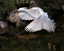 Snowy Egret Bird Stock Photos. Image. Portrait. Picture. Beautiful White Fluffy Feathers Plumage. Flying Bird Over Water. White Color.