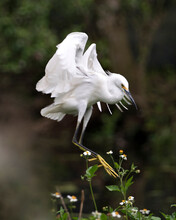 Snowy Egret Bird Stock Photos. Image. Portrait. Picture. Landing On White Flower Tree. Blur Background. Spread Wings.