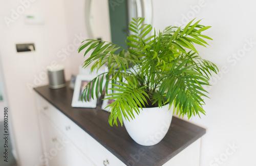 Fotografiet A potted plant  Chamaedorea elegans in a white vase