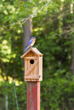 American Bluebird On To Of Nes...