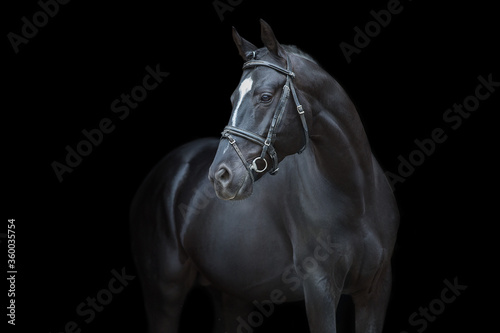 Fototapety, obrazy: Horse portrait in bridle on black background