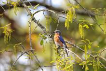 Male American Bluebird In Earl...