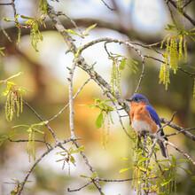 Male American Bluebird Perched...