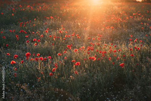 Fototapeta field of poppies in the sunset obraz na płótnie