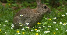Beautiful Wild Rabbit Eating Yellow Buttercup Flowers In Summer Meadow
