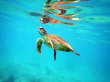 Green Sea Turtle Reflected As It Surfaces For A Breath