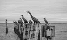 Cormorants Cape Cod 3