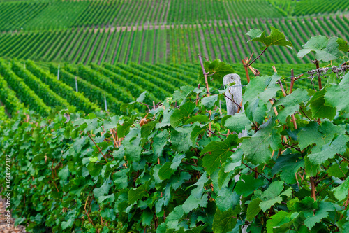 Beautiful green vineyard, autumn landscape before harvest