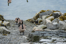 Three Canada Geese Walking On ...