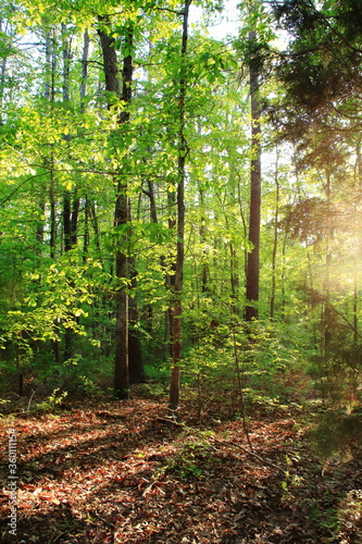 森に柔らかく差し込む夕日