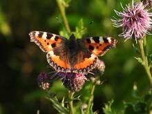 Little Tortoiseshell Butterfly...