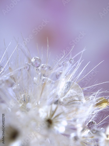 Fototapety, obrazy: Closeup white dry flower plants with shiny drops of water on bright yellow gold blurred purple background , macro image , shiny for card design, pink sweet color for card design