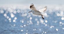 Seagull Flying Over The Ocean ...
