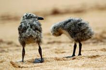 Yellow Legged Gull Chicks On A...