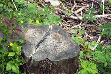 Tree Stump In The Forest With Small Growth Trees Around