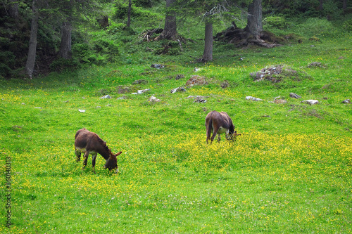 Fotografie, Tablou donkey eating on the fresh green grass field garden with yellow flowers