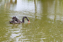 A Black Swan Swimming On A Lak...