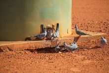 Australian Crested Pigeon, At ...