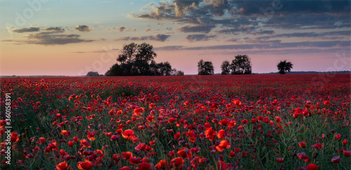 Fototapety, obrazy: the field of poppies